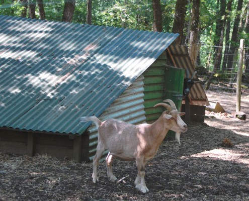 the goats of mouynarie