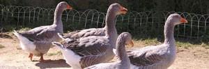 geese sarlat